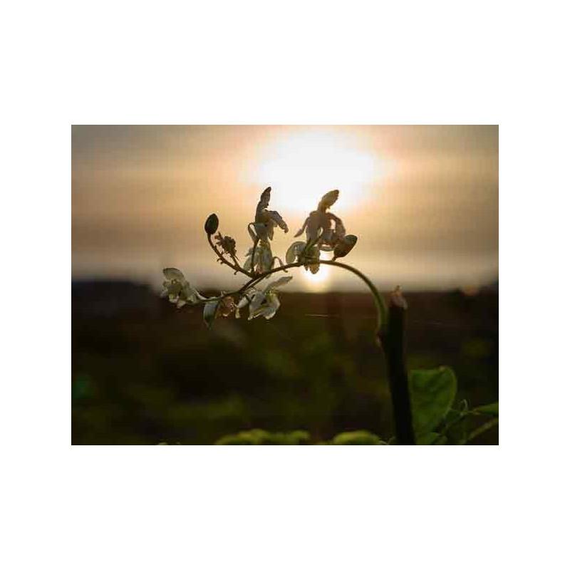Moringa Blüten 35g