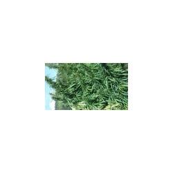 Frische Hanfpflanze buschige Madeleine