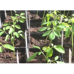 Morigna Pflanze Baumsetzling