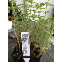 Hot spicy Oregano - Origanum vulgaris