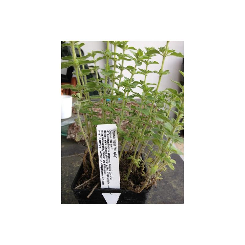 Hot spicy Oregano - Origanum vulgaris