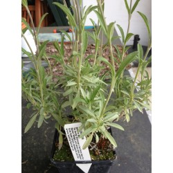spanischer Salbei -Salvia lavendulifolia 6 Stück