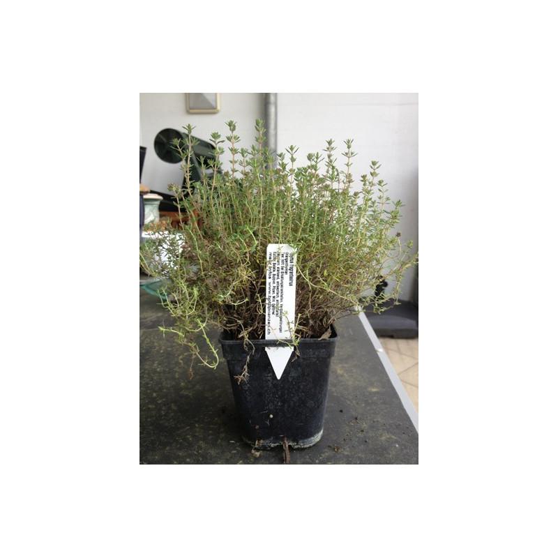 Orangenthymian - Thymus fragrantissimus 6 Stück