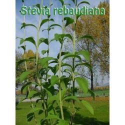 100g getrocknetes Stevia Pulver aus Stevia Blätter